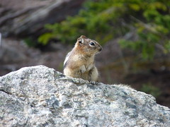 Golden-mantled ground squirrel near Moraine Lake, Banff National Park, Alberta, Canada (Loeffle) Tags: lake canada see nationalpark squirrel lac alberta rockymountains lakelouise kanada banffnationalpark morainelake goldenmantledgroundsquirrel goldmantelziesel callospermophiluslateralis 062014