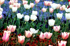 Flowerssss (AngieAngelAngela) Tags: flowers blue red white green rot zoo tulips meadow wiese blumen grn blau weiss tulpen wilhelma