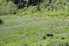 Lupine Field (Dex Horton Photography) Tags: bear mountain ecology danger watch rainier pierce cubs wildflowers sight washingtonstate nationalparks habitat viewing lupine careful mtrainiernationalpark motherbear