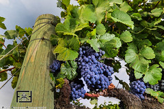 Bunches of wine grapes growning in vineyard (fgfathome) Tags: summer food sun plant color nature leaves fruit leaf vineyard juicy healthy vines wine vine winery growth grapes bunch agriculture grape ripe grapevines