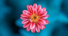 Fantasy.. (Artem Vasilenko) Tags: flower colour bokeh 100mm fantasy carlzeiss fantasyflower makroplanart2100