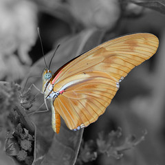 Orange on Monochrome (@noutyboy (Instagram)) Tags: holland macro nature netherlands closeup photoshop canon butterfly garden insect utrecht nederland thenetherlands natuur uithof selectivecolor nout canon100mm botanischetuinen canoneos550d canon100mm28lismacro eos550d noutyboy