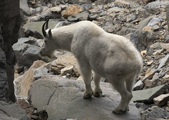 "Mountain Goat • <a style=""font-size:0.8em;"" href=""http://www.flickr.com/photos/63501323@N07/14759047768/"" target=""_blank"">View on Flickr</a>"