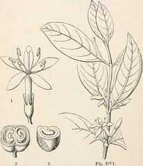 Anglų lietuvių žodynas. Žodis calycophyllum reiškia <li>calycophyllum</li> lietuviškai.