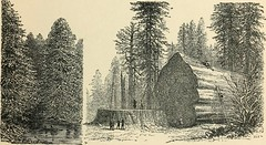 Anglų lietuvių žodynas. Žodis caoutchouc tree reiškia caoutchouc medis lietuviškai.