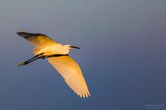 Intermediate Egret @ Sunset (nagarajan_kanna) Tags: sunset waterbird egret birdinflight intermediateegret birdsofindia birdsofsouthindia birdinfocus pulicatlakebirdsantuary