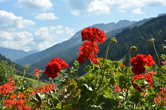 """Silver Valley"" - La ""Valle dell'argento"" (SissiPrincess) Tags: flowers red summer sky sun mountains verde green clouds montagne nuvole estate cielo fiori sole rosso italianalps altoadige southtyrol silvervalley santonio silbertal sudtirolo 100commentgroup valdifleres valledellargento"