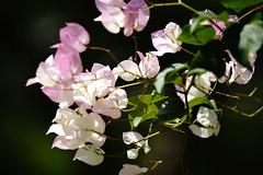 Paper Flower (ddsnet) Tags: plant flower paper sony taiwan bougainvillea 99   taoyuan  slt  paperflower     sungreen  singlelenstranslucent 99v