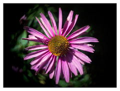 Echinacea (leo.roos) Tags: flowers echinacea bokeh swirly meyer zonnehoed echinaceapurpurea 16mmfilm movielens plasmat darosa drrudolph cinelens cmount swirlybokeh cinelenses kinoplasmat leoroos kinoplasmat1615