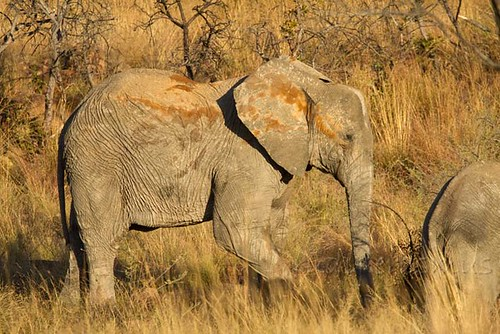 Elephant sub-adult with different mud bath colours _2811
