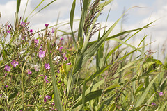 Swaying (Michael Goldrei (microsketch)) Tags: street pink flowers plants macro london nature st river lens photography countryside photo photographer natural photos 14 country reserve august valley lea greenery marsh aug walthamstow marshes 2014