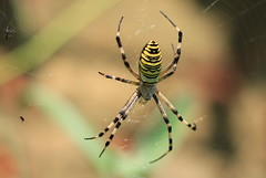 IMG_2107 (fotografia per passione) Tags: macro spyder insetti ragni marksoetebier mksphoto