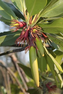 Bruguiera gymnorrhiza 'Black Mangrove' - Richards Bay, Kwazulu Natal