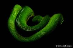 Emerald Snake (meepeachii) Tags: green animal zoo snake lowkey