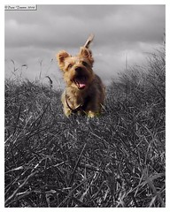 Hamish enjoying his run in fields (dark-dawud) Tags: dog pet grass animal tongue nose blackwhite eyes teeth ears running lincolnshire terrier hamish yorkshireterrier colourblackandwhite blackwhitedashcolour