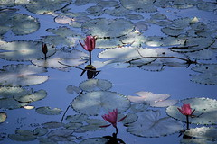 All Aglow (The Spirit of the World) Tags: light reflections pond waterlily bluesky lilies srilanka lilypond waterreflections ancientcities rememberthatmomentlevel1 ancientcitiesofsrilanka