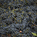 Cabernet Harvest for Jordan Winery