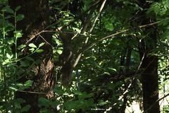 Scoiattolo comune (renato aldo ferri) Tags: animalia mammalia vulgaris sciurusvulgaris sciuridae chordata deuterostomia vertebrata sciurus eukaryota sciurinae eumetazoa theria lutheria euarchontoglires rodantia