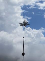 Waxpalmboom