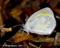Barred Yelllow 2 (Robert Epstein) Tags: yard florida wildlife butterflies bugs manateecounty twinrivers barredyellow