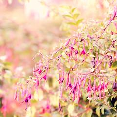 Fuchsia magellanica (RoCafe) Tags: pink flowers flores garden pastel rosa jardn