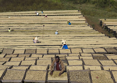 Workers In Front Of White Coffee Beans Drying In The Sun In A Fair Trade Coffee Farm, Jimma, Ethiopia (Eric Lafforgue) Tags: africa people plant men nature coffee horizontal fruit outdoors photography day factory adult farm african farming bean crop agriculture ethiopia botany groupofpeople abundance foodanddrink adultsonly fairtrade freshness drying jima hornofafrica harvesting ethiopian äthiopien etiopia coffeeplant ethiopie farmworker etiopía coffeecrop oromia oromo colorpicture jimma エチオピア etiopija colourimage ethiopië 埃塞俄比亚 etiopien etiópia 埃塞俄比亞 etiyopya אתיופיה manualworker colourpicture эфиопия 에티오피아 αιθιοπία 이디오피아 種族 етиопија 衣索匹亚 衣索匹亞 kaffaprovince ethio1404627