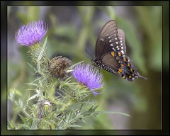 The Painted Butterfly (Carolyn Lehrke) Tags: usa butterfly painted wv swallowtail nikond3200 bullthistle photoshopo greenbriercounty painterlyeffect fotosketcher ilobsterit