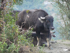 Water buffalo on Annapruna Base Campe trek, Nepal (Matt-Zimmerman) Tags: nepal camp water trek buffalo base annapurna himalayas ghandruk westernregion