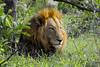 IMG09702 (Arno Meintjes Wildlife) Tags: africa nature animal wildlife lion safari bigcat predator krugerpark kruger big5 pantheraleo arnomeintjes