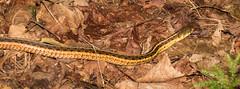 Garter Snake (hickamorehackamore) Tags: ny newyork canon woods snake newyorkstate minerva bew gartersnake commongartersnake moxhammountain moxhammtn 14thrd