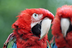 Tropical Birdland (NTG's pictures) Tags: blue green birds yellow gold grey zoo african ducks parrot tropical aviary lory cockatoo winged macaw backed parrots hornbill hyacinth macaws galah birdland keas chattering desford le9 9gn