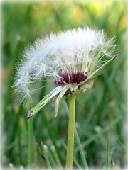 preparing for flight (K Christiansen Photos) Tags: nature spring dandelion blooming floralappreciation