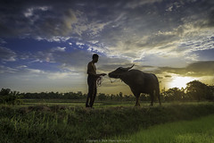 King of ricefield (ProxyP) Tags: life sunset people man field thailand countryside buffalo mood rice emotion traditional country feel farming culture farmland thai farmer feeling agriculture ricefield cultural carabao wayoflife esan