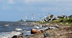 Seagulls (Landanna) Tags: blue seagulls beach strand denmark blauw dnemark danmark als holm denemarken bl snderjylland zeemeeuwen zuidjutland