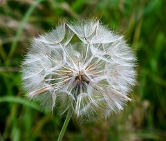 Dandelion clock (kailhen) Tags: white flower clock fluffy dandelion seeds delecate