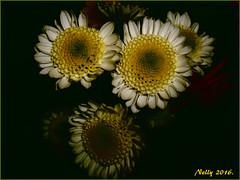 *MUM... (MONKEY50) Tags: chrysanthemum flowers digital pentaxart colors white yellow black flickraward macro mysictomyeyes contactgroups autofocus pentaxflickraward hypothetical awardtree exoticimage netartii artdigital shockofthenew beautifulphoto exquisiteflowers mixofflowers