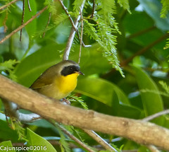 Common Yellowthroat (Cajunspice) Tags: md hop