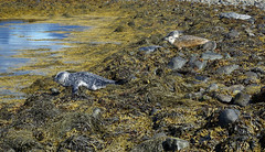 Kegelrobben (Thomas Berg (Cottbus)) Tags: bir geo:lat=6480097200 geo:lon=2307538400 geotagged grundarfiri isl island kegelrobbe halichoerus grypus iceland islanda