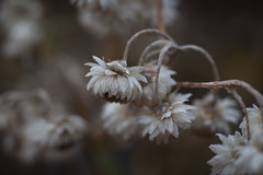 Immortelle (martinmenard757) Tags: automne nikon quebec canada macro 55mm