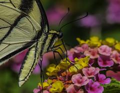 EasternTigerSwallowtail_SAF0907-4 (sara97) Tags: black butterfly easterntigerswallowtail flyinginsect insect missouri nature outdoors photobysaraannefinke pollinator saintlouis swallowtail urbanpark yellow copyright2016saraannefinke papilioglaucus