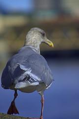 Rear View (swong95765) Tags: animal bird gull seagull rearview leaving bokeh cute rear feathers