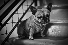 BW Stairs (art w.) Tags: frenchy frenchbulldog frenchbulldogs bulldogs bulldog dog d800