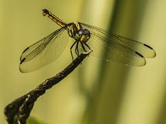 BOYS GEPI dragonfly (hastuwi) Tags: dragonfly capung kinjeng sibursibur odonata insect insects serangga dragonflies bandongan magelang centraljava idn polkadot yellowstriped
