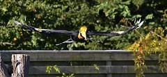 over the fence (Breboen) Tags: friday fence flight wings neushoorn hornbill