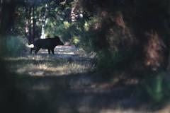 de passage... (poun'ish) Tags: sanglier boar sauvage nature wildlife