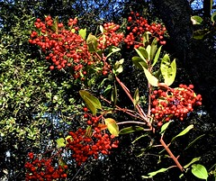 berries, Edgewood County Park and Natural Preserve, red, ridge line, toyon, trails (David McSpadden) Tags: berries edgewoodcountyparkandnaturalpreserve red ridgeline toyon trails