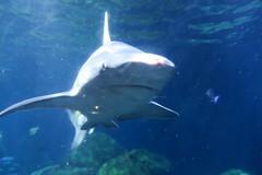 IMG_7657 (David Danzig) Tags: tennessee aquarium chattanooga sand shark