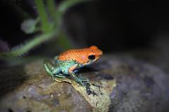 Oophaga granulifera (daniel_hinrichsen) Tags: oophaga granulifera red green poison dart frog costa rica hobby animal amphipian rare small female colorful herp herptology
