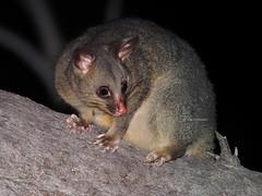 Brushtail Possum (Vas Smilevski) Tags: commonbrushtailpossum brushtailpossum possum marsupial trichosurusvulpecular animals wildlife australianwildlife australia nsw nature ngc night nocturnal fl600r flash flashextender nightphotography getolympus m43 olympusomdem1 mzuiko300mmf4pro 300mm omd em1 olympus olympusau olympusinspired