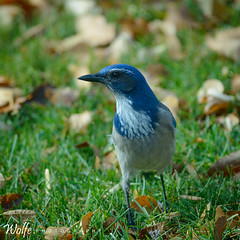 i see you (Aaron_Smith_Wolfe_Photography) Tags: scrubjay blue green